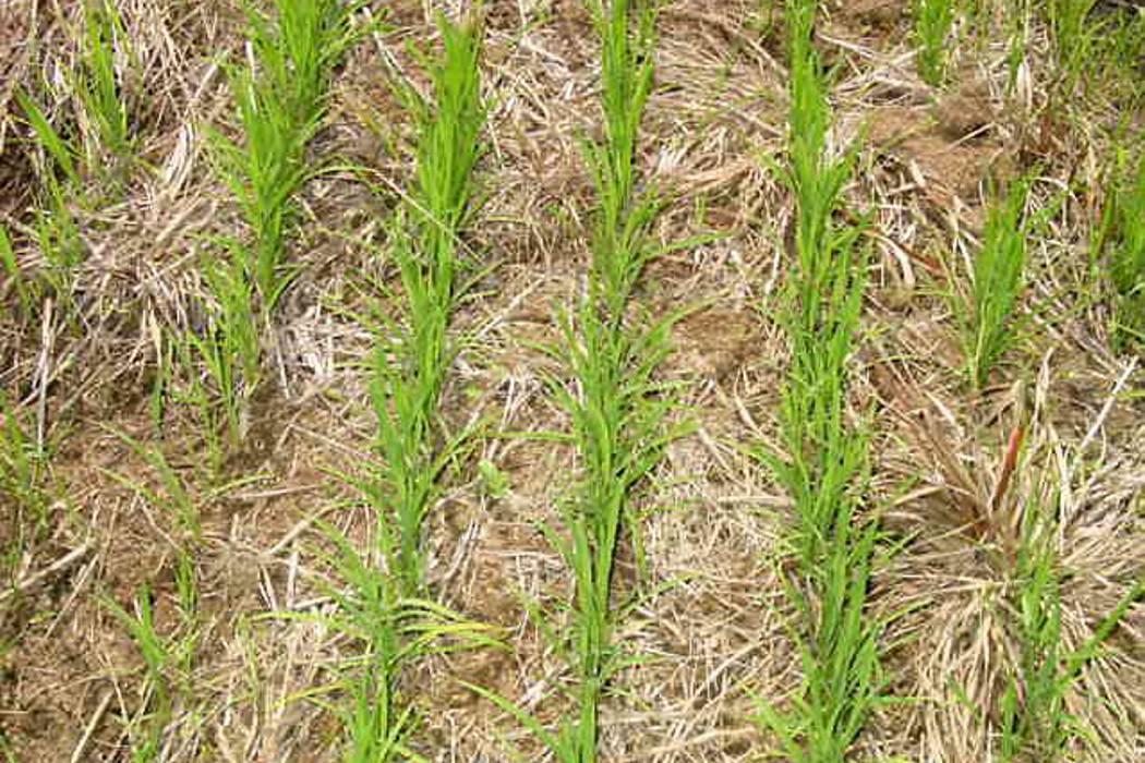 Colombia necesita importar 150 mil toneladas de arroz, según Minagricultura