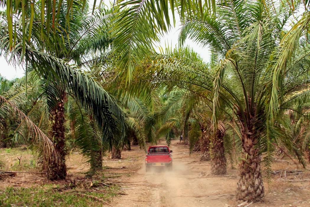 Colombia tiene 16 millones de hectáreas aptas para palma