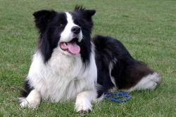 Las 10 razas de perros más sanas del mundo