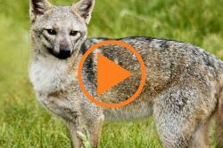 Alerta por presencia de jauría de zorros en barrio de Floridablanca