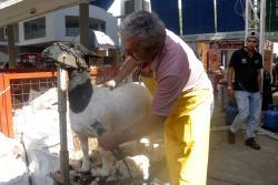 Este hombre 'embellece' a las mejores ovejas de Santander