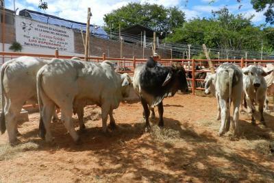 Más de la mitad del inventario bovino está en predios pequeños y medianos