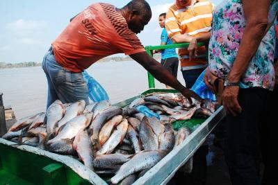 Tras milagrosa subienda de bocachico en Barrancabermeja, se vende a $1.000 el pescado