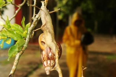 Denuncian nueva invasión de caracoles africanos en Bucaramanga