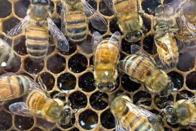 Inventan la primera abeja robótica