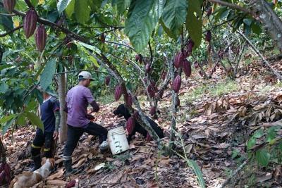 Factores externos tumbaron  el precio del cacao: Fedecacao