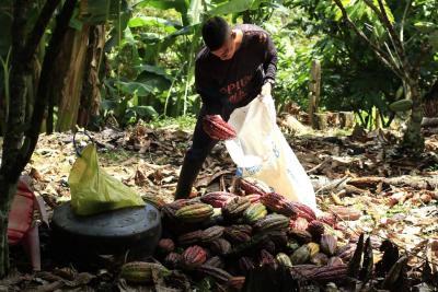 Dos muestras de cacao de Santander irán al International Cocoa Awards