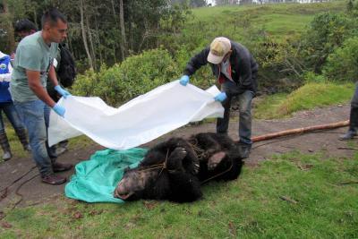 Asesinan a oso andino en el Parque Nacional Natural Chingaza, Cundinamarca