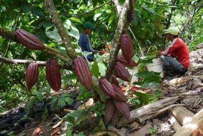 Importaciones y contrabando están afectando la cotización del cacao