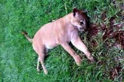 Autoridades desmienten supuesto asesinato de un puma en Santander
