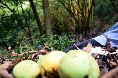Cuando bajaba mangos se encontró con la muerte en Santander