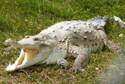 Buscan a niño que fue atacado y arrastrado por un caimán