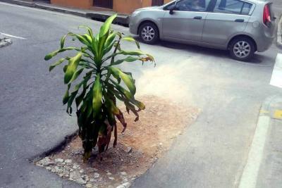 Siembran árbol en mitad de calle dañada del casco antiguo de Floridablanca