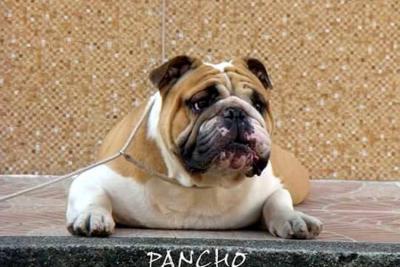 Este es Bulldog: El perro 'bonachón'