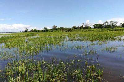 Crecientes amenazan 2 mil hectáreas de arroz en Puerto Wilches
