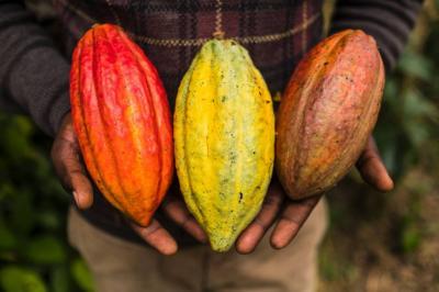 Precio del cacao se rige por  mercado internacional y TRM