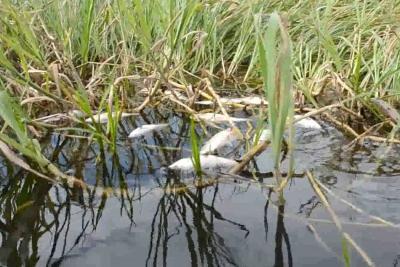 Por lo menos 5.000 peces 'viejitos' murieron en la Ciénaga de Paredes