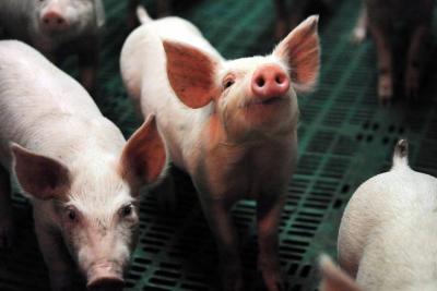 Libre de PPC el 70% de producción porcina