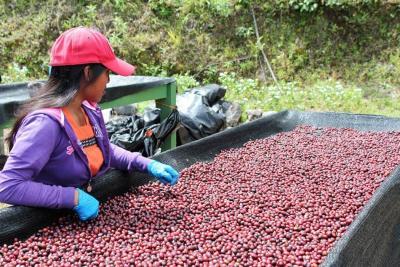 Producción de café cayó 22,5% en mayo