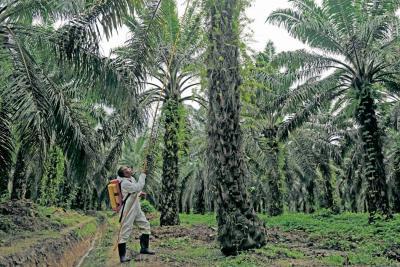 Palma, oleaginosa que menos perjudica al medio ambiente