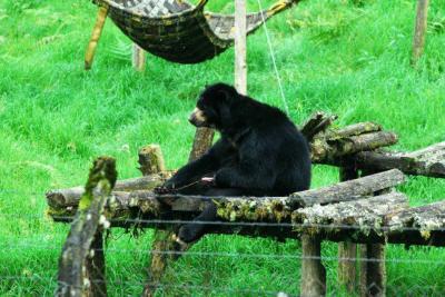 'Batalla' judicial por el trasladado de un oso de anteojos