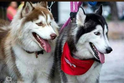 Husky Siberiano: inteligencia, hermosura y estilo en un solo ejemplar