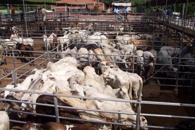 $220 mil millones han perdido ganaderos por el contrabando