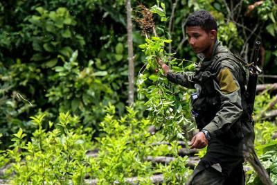 Cultivos de coca en Colombia crecieron un 52 % en 2016: ONU
