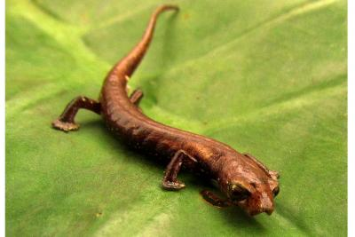 Descubren en Santander especie de salamandra única en el mundo