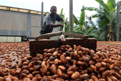 Minagro anunciaría recursos para renovar cultivos de cacao