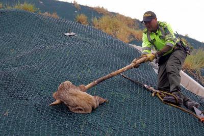 Rescatan oso perezoso que estuvo a punto de caer a un abismo en Santander
