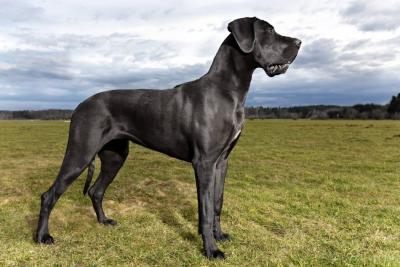 Gran Danés: el perro más grande y amoroso del mundo