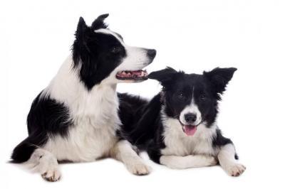 Border Collie: de perro pastor a mejor amigo del hombre