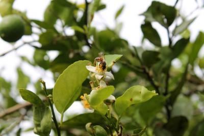 Corpoica promueve salvar a las abejas