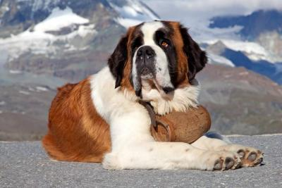 San Bernardo: de perro de montaña a mascota de ciudad