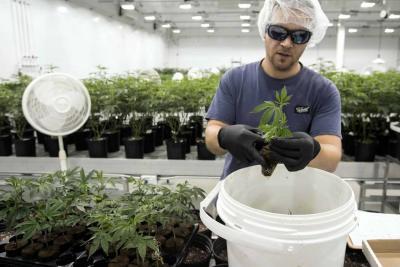 Otorgan primera licencia de cultivo de marihuana medicinal en Santander