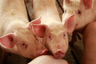 En tercer trimestre sacrificio de porcinos superó al de bovinos