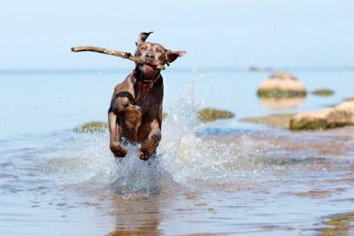 Weimaraner: el perro de 'pelaje de plata' que brilla por su encanto