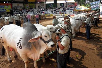 Se sacrifican ilegalmente 1.500 reses fuera Bucaramanga