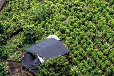 Colombia cumplió la meta de erradicación de cultivos de coca: MinDefensa