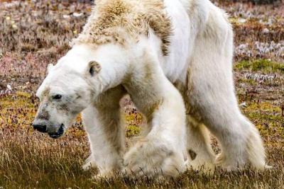 La agonía del oso polar que se convirtió en rostro de los efectos del cambio climático