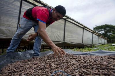 Producción de cacao llegaría a 60 mil toneladas al cierre de 2017