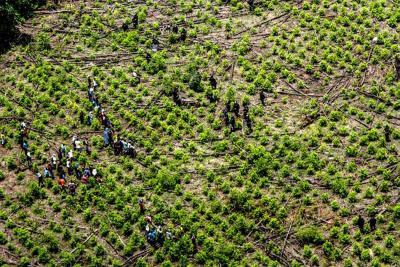 Corte respalda fumigación terrestre y erradicación manual de cultivos ilícitos