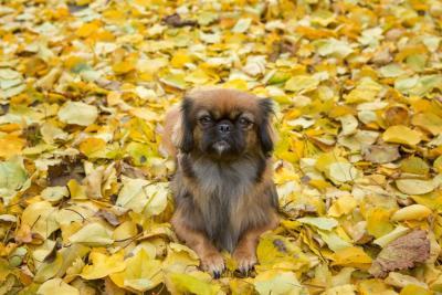 Pekinés, el canino de la leyenda china que enamoró al hombre con su ternura y fidelidad