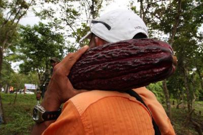 Producción de cacao alcanzó las 60.535 toneladas en el 2017