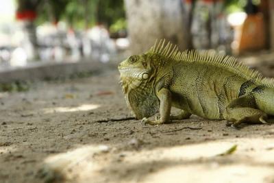 Las iguanas de Girón requieren de mayor protección