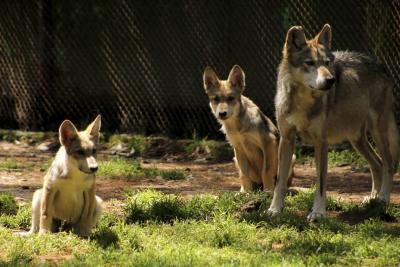 Gobierno francés autorizó matar hasta 40 lobos al año