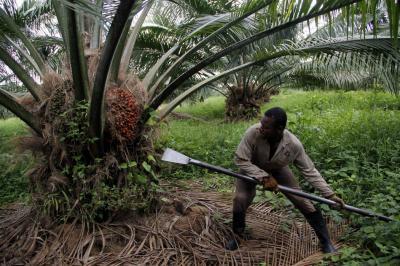 Los recelos del mercado  externo con el aceite de palma