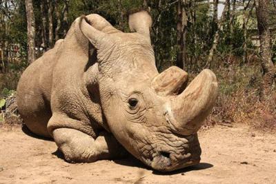 La lenta agonía del último rinoceronte blanco macho