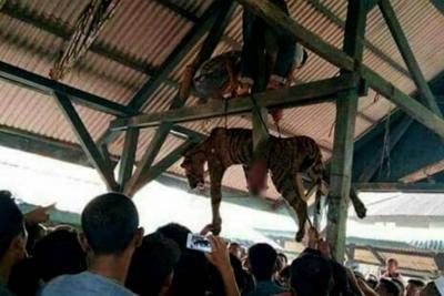 Asesinaron con lanzas a un tigre en peligro de extinción